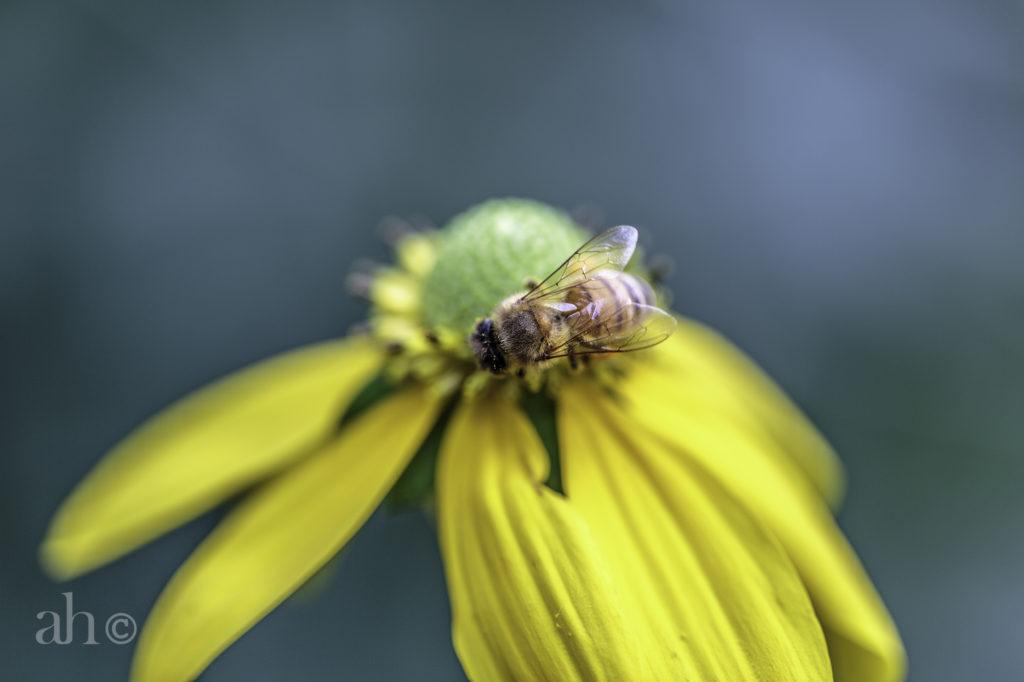 Bee_AH